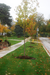 New trees planted on Chicago Avenue